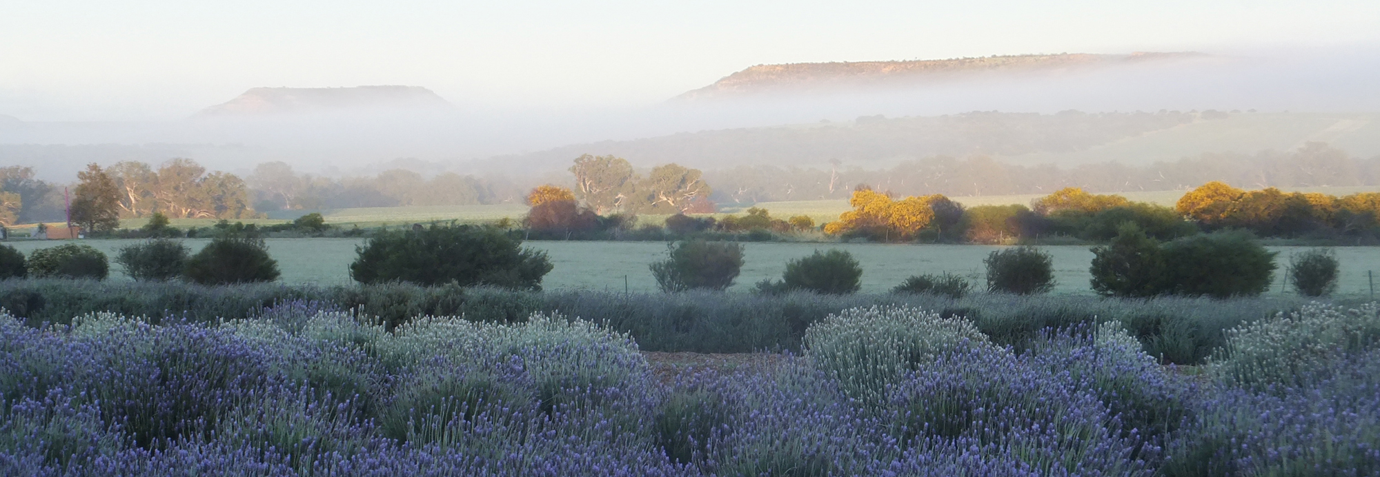 Lavender Growing at Lavender Valley Farm in the picturesque Chapman Valley WA
